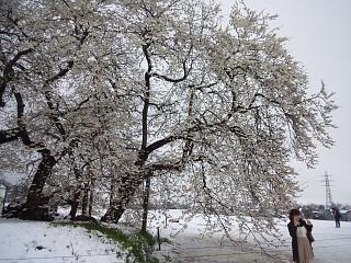 20130421石部桜(その7)