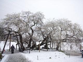 20130421石部桜(その8)