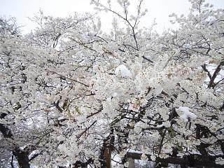 20130421石部桜(その12)