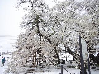 20130421石部桜(その11)