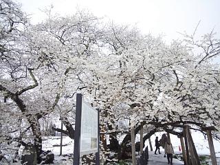 20130421石部桜(その13)