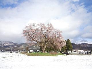 20130421一本桜(その1)