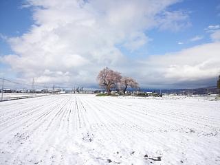 20130421一本桜(その2)