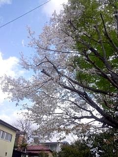 20130427通勤路の桜