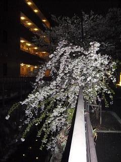 20130627夜桜(その2)