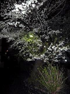 20130627夜桜(その10)