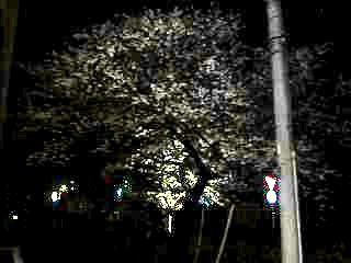 20130627夜桜(その11)