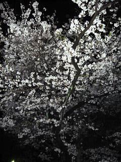20130627夜桜(その12)