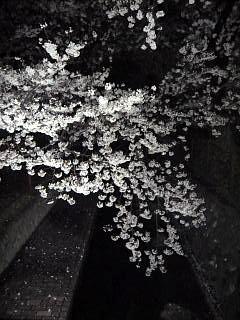 20130627夜桜(その15)