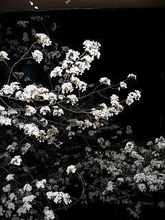 20130627夜桜(その16)