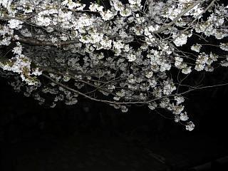20130627夜桜(その18)