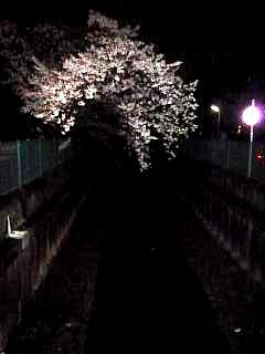 20130627夜桜(その19)