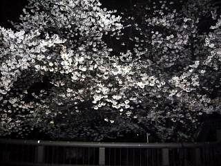 20130627夜桜(その20)