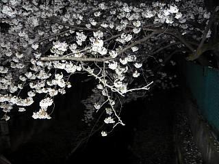 20130627夜桜(その26)
