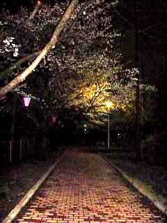 20130627夜桜(その30)