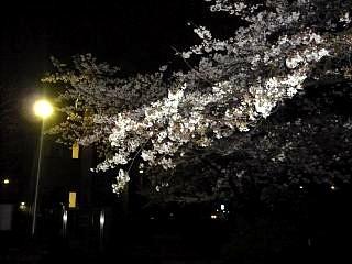 20130627夜桜(その32)