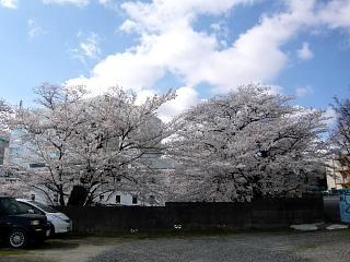 20130413桜(その7)
