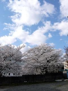 20130413桜(その8)