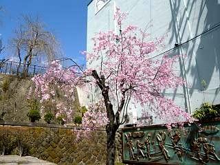 20130413桜(その9)
