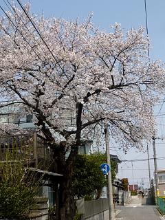 20130414近所の桜(その1)