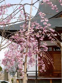 20130414近所の桜(その5)