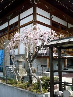 20130414近所の桜(その6)