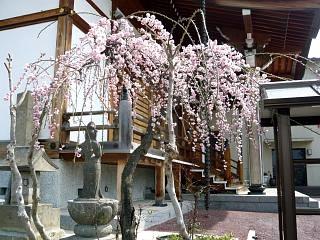 20130414近所の桜(その7)
