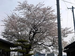 20130414近所の桜(その9)