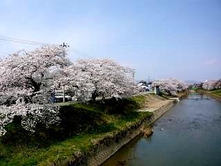 20130414逢瀬川の桜(その1)