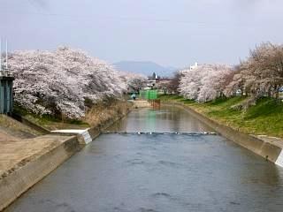 20130414逢瀬川の桜(その3)