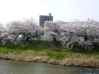 20130414逢瀬川の桜(その5)
