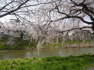 20130414逢瀬川の桜(その6)