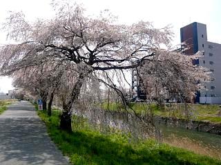 20130414逢瀬川の桜(その7)