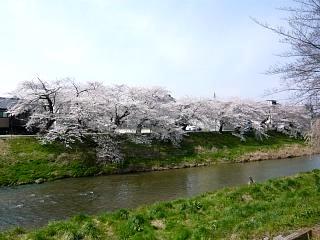 20130414逢瀬川の桜(その8)