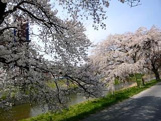 20130414逢瀬川の桜(その10)