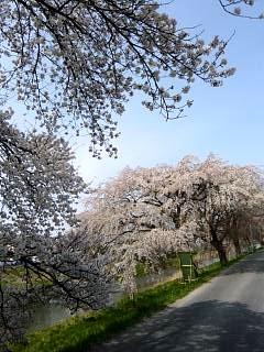 20130414逢瀬川の桜(その11)
