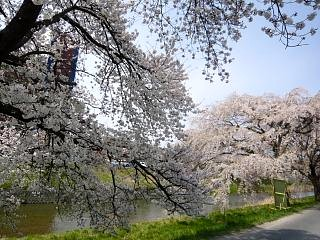 20130414逢瀬川の桜(その12)
