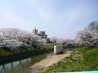 20130414逢瀬川の桜(その14)