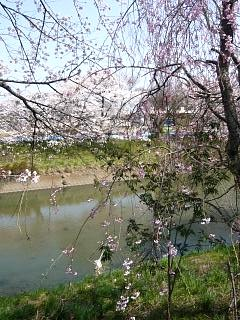 20130414逢瀬川の桜(その15)