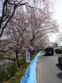 20130414逢瀬川の桜(その16)