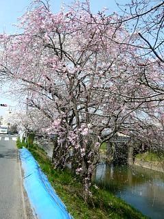 20130414逢瀬川の桜(その18)