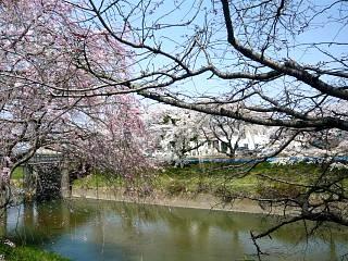 20130414逢瀬川の桜(その19)