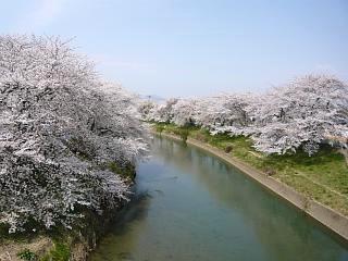 20130414逢瀬川の桜(その20)
