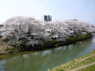 20130414逢瀬川の桜(その22)