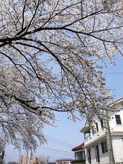 20130414逢瀬川の桜(その24)