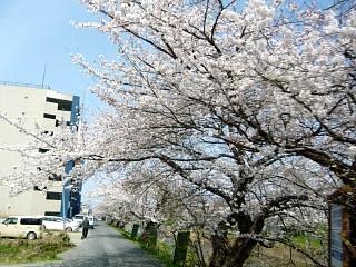 20130414逢瀬川の桜(その26)