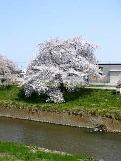 20130414逢瀬川の桜(その27)