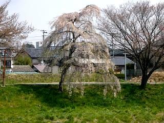 20130414逢瀬川の桜(その28)