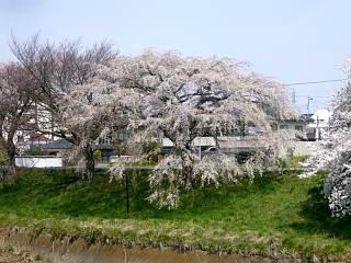 20130414逢瀬川の桜(その29)