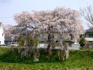 20130414逢瀬川の桜(その30)